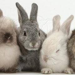 Napoleão e o ataque dos coelhos